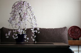 現代インテリアにあうモダン盆栽教室 〜日本の春を感じる桜盆栽〜